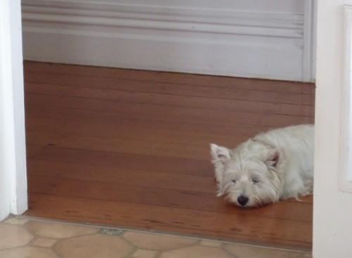 Tired Westie after Westie Walk