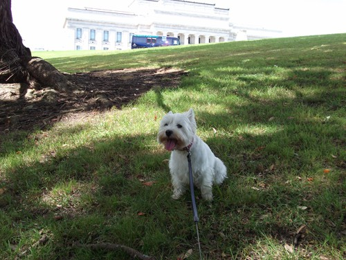 Minnie The Westie at the Wag n Walk