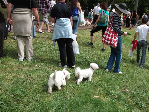 Minnie The Westie at the Wag n Walk, Auckland