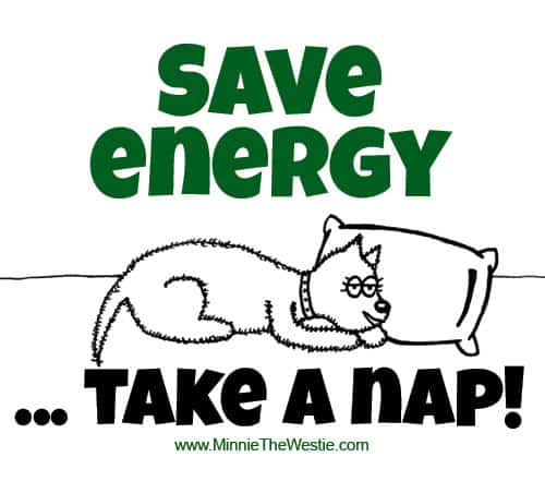 Minnie The Westie says: Save energy - take a nap!