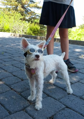 "Jadis is wearing ""doggles"" dog sunglasses... too cute!"