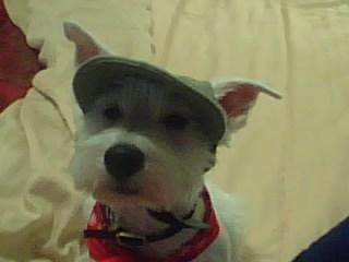 Sebastian is one very stylish Westie in his hat!