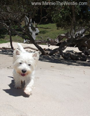 A few days later, we check out another beach. I love the soft, white sand, it's so nice under my paws!