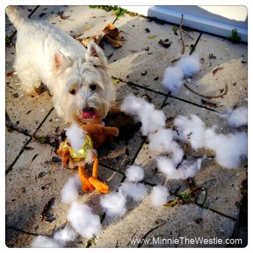 westie-destroys-chicken-toy