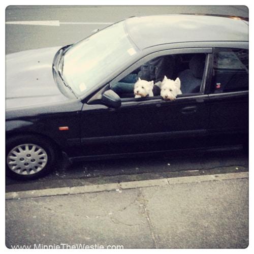 westies-in-a-car