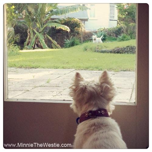 westies-keeping-guard