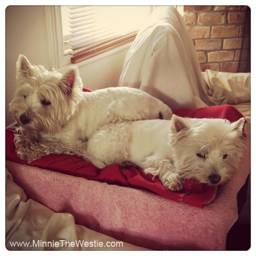 westies-sharing-a-bed
