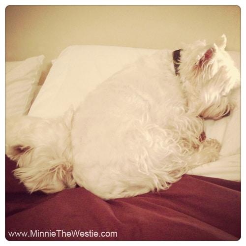 westies-sleeping-on-pillow