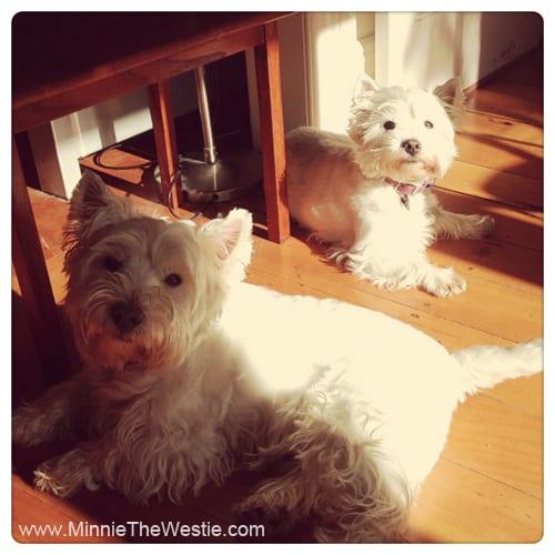 westies-sunbathing-indoors